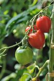 Ripening tomater royaltyfria foton