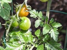 Ripening tomater Arkivfoto