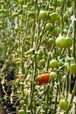 Ripening tomater Arkivfoton