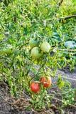 Ripening tomato fruits on bushes in evening Stock Image