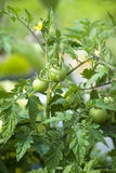 Ripening tomato plant Royalty Free Stock Images