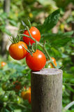Ripening tomatoes Royalty Free Stock Photography