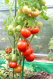 Ripening tomatoes. In a greenhouse Stock Photos