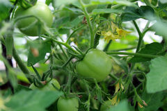 Ripening tomatoes on a branch Royalty Free Stock Photos