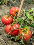 Ripening tomatoes Stock Photos