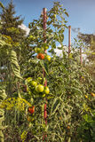 Ripening tomatoes in a domestic garden. Tomato plant in a garden. A view tomatoes are red but most of them are still green. Sunny atmosphere with blue sky Stock Photography