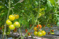 Ripening tomatoes in a Dutch hothouse Stock Photo