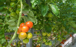 Ripening tomatoes in a Dutch hothouse Royalty Free Stock Image