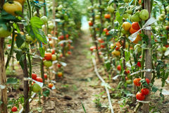Ripening tomatoes in the greenhouse. Homegrown ripening tomatoes on vines in a greenhouse garden Royalty Free Stock Photos