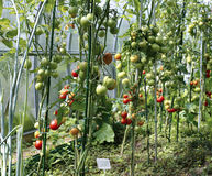 Ripening tomatoes in a greenhouse Stock Images