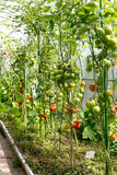 Ripening tomatoes in a greenhouse Royalty Free Stock Photo