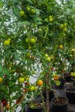 Ripening tomatoes in a home greenhouse in the village.  stock photos