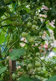 Ripening tomatoes in a home greenhouse in the village.  royalty free stock photography