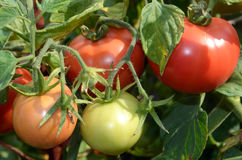 The ripening tomatoes. Stock Photo