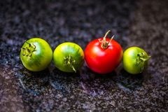 Ripening Tomatoes. A red tomato surrounded by green ripening tomatoes royalty free stock photo