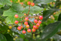 Ripening viburnum berries. Droplets of rain hanging from the berries. The bitter berry. After the rain. Summer is reflected in the droplets stock images