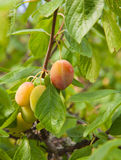 Ripening victoria plums Royalty Free Stock Photo