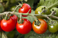 Ripening vine tomato Stock Photo