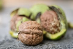 Ripening walnuts in shell. Fruit ready for harvesting on a wooden table. royalty free stock image