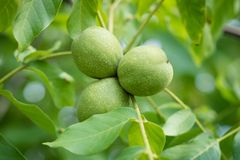 Ripening walnuts in shell. Fruit ready for harvesting on a wooden table. Season - autumn stock photo