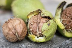 Ripening walnuts in shell. Fruit ready for harvesting on a wooden table. stock photos