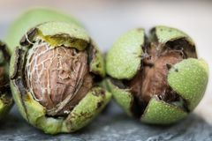 Ripening walnuts in shell. Fruit ready for harvesting on a wooden table. royalty free stock photos