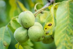 Ripening walnuts in shell. Fruit ready for harvesting on a wooden table. royalty free stock images