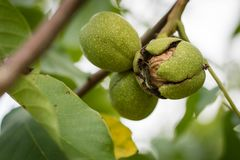 Ripening walnuts in shell. Fruit ready for harvesting on a wooden table. stock photography