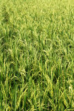 Ripening Wet Paddy Royalty Free Stock Photo