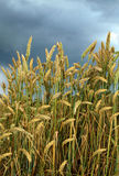 Ripening wheat Stock Image