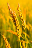 Ripening wheat. A wheat ripens on the bread field royalty free stock images