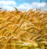Ripening wheat against a blue sky Stock Images