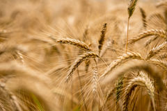 Ripening wheat in an agricultural field Royalty Free Stock Image