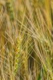 Ripening wheat ear close-up Stock Photo