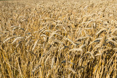 Ripening wheat ears from close Stock Photo