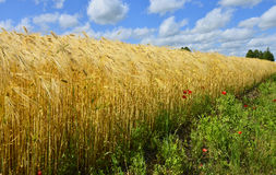 Ripening wheat, Europe Royalty Free Stock Photos