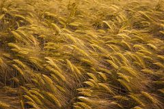 Ripening wheat field Stock Photo