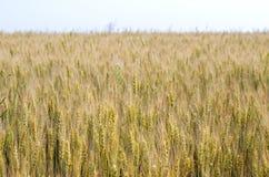 Ripening wheat field Stock Image