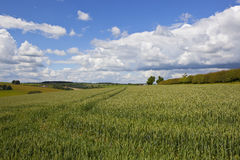 Ripening wheat field in summer Stock Photo