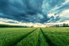Ripening wheat field and sunrise sky. Royalty Free Stock Photography