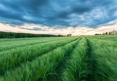 Ripening wheat field and sunrise sky. Stock Image