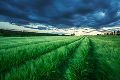 Ripening wheat field and sunrise sky. Royalty Free Stock Image