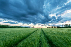 Ripening wheat field and sunrise sky. Royalty Free Stock Photos