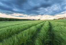 Ripening wheat field and sunrise sky. Royalty Free Stock Photo