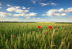Ripening wheat field and sunrise sky. Stock Photos
