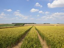 Ripening wheat fields in a patchwork landscape in summertime Stock Photos