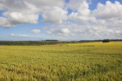Ripening wheat fields Stock Photography