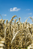 Ripening wheat Stock Images