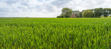Ripening wheat in a rural landscape Royalty Free Stock Image