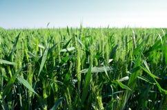 The ripening wheat Royalty Free Stock Photo
